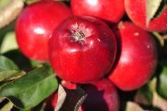 Rosalie. Die Lady unter den Ápfel überzeugt mit roter Schalen und Fruchtfleischfarbe. Sie ist sauer im Geschmack und eignet sich gut für den Kuchen oder Apfelmus.