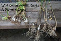 Wild Onion or Wild Garlic? A Pictorial Identification Guide – Live The Old Way Wild Garlic Plant, Polo Lacoste, Planting Onions, Wild Onions, Garlic Uses, Herb Garden Design, Garden Tips, Edible Wild Plants, Plant Identification