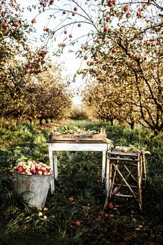 gorgeous orchard setting by photographer Kara Rosenlund FleaingFrance.gorgeous orchard setting by photographer Kara Rosenlund Kara Rosenlund, Purple Home, The Design Files, Blog Design, Apple Tree, Red Apple, Parcs, Fruit Trees, Farm Life
