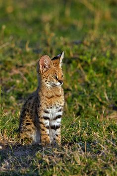 Serval kitten - One of 2 Serval kittens in beautiful golden light that we spent over an hour with as we watched them play close by to their den site. by Marc MOL Masai Mara, Kenya. Serval Kitten, Caracal Kittens, Cats And Kittens, Nature Animals, Baby Animals, Cute Animals, Small Wild Cats, Big Cats, Small Cat