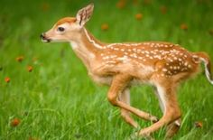 Running very young whitetail deer with spots.