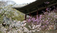 Korea is known for its beauty during spring, especially because of the cherry blossoms.