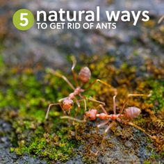 5 Ways To Get Rid Of Ants Naturally Without Killing Them - http://www.ecosnippets.com/diy/5-ways-to-get-rid-of-ants-naturally-without-killing-them/