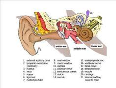 Inner Ear Anatomy- ear infections