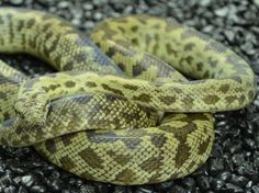 Cape York Spotted Python