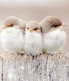 soft trio of fairy wrens