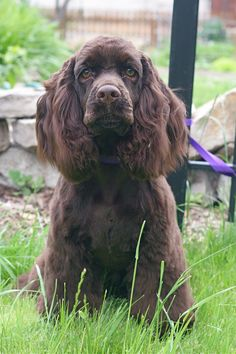 chocolate cocker spaniel....look at those green eyes. I'm in love.