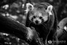 Panda in Schwarz-Weiß