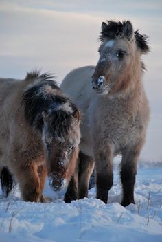 Young Yakut horses in the snow at -50°C - Tomtor,  Sakha Republic, Russia  (by Bernard Grua)