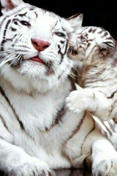 Tiger with baby 'cub'. White tigers are my FAVORITE animals! Beautiful Cats, Animals Beautiful, Beautiful Creatures, Big Cats, Cats And Kittens, Baby Kittens, Cute Animals Kissing, Cutest Animals, Animals And Pets
