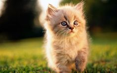 The Cute And Fuzzy Kitten