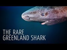 A video of Arctic underwater cinematographer Adam Ravetch discussing the unusual and seldom-filmed Greenland Shark.