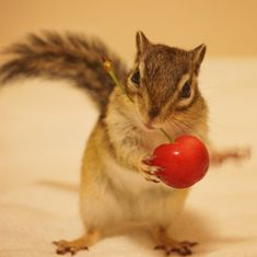 Tod gets a cherry. Animals And Pets, Funny Animals, Adorable Cute Animals, Elephant Shrew, Chip And Dale, Walk In The Woods, Chipmunks, Guinea Pigs, Animal Drawings