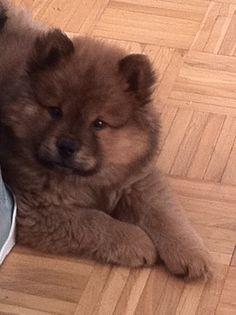I want a Chow Chow puppy sooo bad!