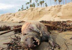 Gruseliges Strandgut: Entstellte Kreatur am Strand von Santa Barbara angespült - Yahoo Nachrichten Deutschland