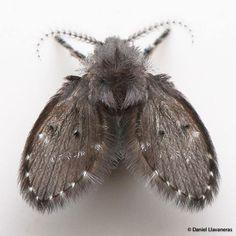 #dllavaneras  Seguro has visto estos insectos alguna vez en los baños o cocina de tu casa. Son pequeñas moscas de desagües (Diptera: Psychodidae: Psychodinae), y sus larvas viven en tuberías. Son inofensivas, pero su presencia puede ser molesta si son abundantes -- You've surely seen these insects before in your bathrooms or kitchen. They're drain flies (Diptera: Psychodidae: Psychodinae), and their larvae live in drains and sewage pipes. They're harmless, but may be annoying if they're…