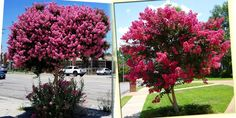 NAJDŁUŻEJ KWITNĄCY KRZEW ŚWIATA~ LAGERSTROEMIA 8266643356 - Allegro.pl Bonsai, Plants, Bonsai Trees, Bonsai Plants, Flora, Plant, String Garden