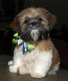 Biff is our new Shih Tzu and my first small dog (owned Rottweilers before) and I have to admit I love the little guy.