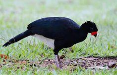 Minha Câmera, Seus Pássaros: Mutum de bico vermelho(Crax blumenbachii) - Red-billed Curassow - RN Vale - Linhares(ES) -…