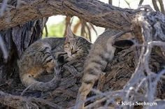Katy on the Road: African Wildcat (incl. Big Cats, Cheetah, November, African, Animals, Slipper, Feral Cats, November Born, Animales