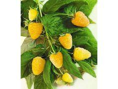 stachellose-himbeeren-alpengold-2-pflanzen-zoom.jpg (1500×1125)