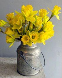 daffodils in metal pail