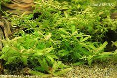 Hygrophila polysperma    © Johan Herbs, Plants, Herb, Plant, Planets, Medicinal Plants