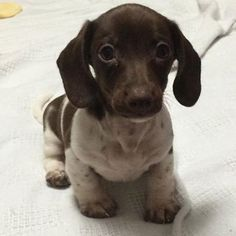 Omg that puppy is so adorable he or she I dont care all I know is that I want that little baby ==> visit http://www.amazingdogtales.com/gifts-for-dachsund-lovers/ #dachshund