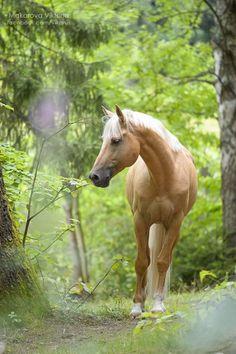 ♞Horse by Makarova Viktoria. Palomino Horse in the lush green woods. Horses And Dogs, Cute Horses, Horse Love, Wild Horses, Black Horses, Most Beautiful Animals, Beautiful Horses, Beautiful Creatures, Horse Photos