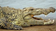 Crocodiles are the biggest reptiles. In this article we will tell you a little crocodile. Crocodiles are very eerie, but wonderful creatures. Crocodile Facts, Crocodile Pictures, Crocodile Animal, Nile Crocodile, Saltwater Crocodile, Wild Animals Pictures, Animal Pictures, Alligator Image, Zoo Project
