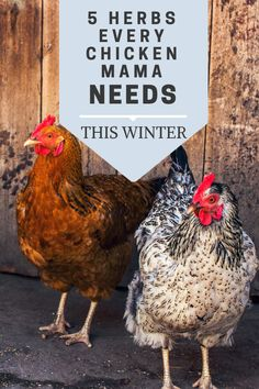 These 5 herbs are so important to use in your chicken coop to promote good health during the winter. These 5 herbs are essential for backyard chicken owners for winter care! Herbs For Chickens, Chickens In The Winter, Raising Backyard Chickens, Urban Chickens, Pet Chickens, Backyard Poultry, Keeping Chickens, Backyard Farming, Chicken Pen