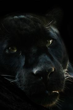 A Black Panther's Steadfast Stare. Jaguar Panther, Panther Leopard, Vida Animal, Mundo Animal, Beautiful Cats, Animals Beautiful, Big Cats, Cats And Kittens, Animals And Pets