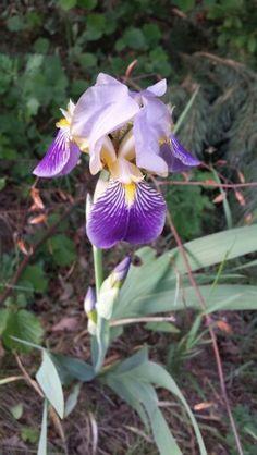Wild Orchidee