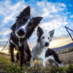 """""""@Dogsofinstagram Takeover.  Photo of the Day! @Kelly_Bove capturing this shot of her two rescue Border Collies, Envy and Zain. Not much beats the love of…"""""""