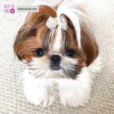 Shitzu Puppies, Cute Dogs And Puppies, I Love Dogs, Doggies, Perro Shih Tzu, Shih Tzu Puppy, Cute Funny Animals, Cute Baby Animals, Dog Charities