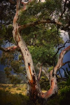 Gum Tree Snowy Mountains Australia Photo: Steve Turner