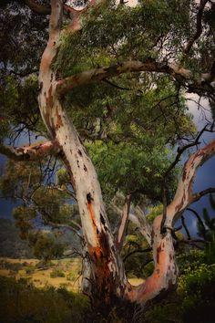 Gum Tree, Snowy Mountains, Australia