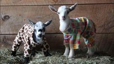 Ten Adorable Baby Goats Gleefully Romp Around the Barn Dressed In Colorful Onesie Pajamas