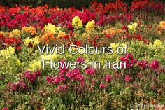 It was spring when I visited in Iran and what a right time to be there because flowers were blooming in bright colours!
