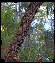 Australian native trees in beautiful bush surroundings.