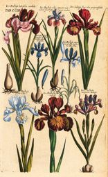 Vintage Botanical Prints, Botanical Drawings, Antique Prints, Botanical Art, Botanical Illustration, Vintage Prints, Iris Drawing, Science Illustration, Vintage Flowers