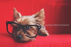 Doggie and glasses  Jill Rasco Photography Yorkie photo