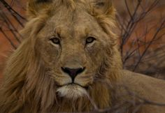 The King of Madikwe, Madikwe Game Reserve