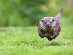 Leaps and Bounds: Photograph by Mark Bridger, National Geographic Your Shot.  A young female otter (Lutra lutra) runs toward photographer Mark Bridger at a wildlife center in Lingfield, Surrey, in England.