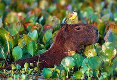 Capybara - LOVE them!!!