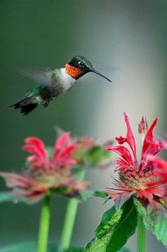 HUMMINGBIRD TIP: The best flowers to attract hummingbirds are rich with nectar. #howtobirdwatch