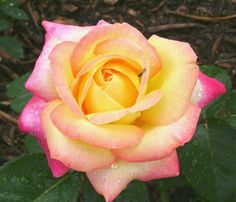 so excited to see my roses this year. hoping peace made the transition to her new spot in the garden.
