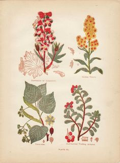 Vintage Lithograph Medicinal Plants (Plate 3) by EJ Stanley 1909 on Etsy, $12.00