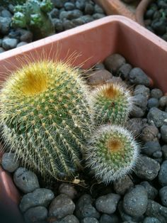 Notocactus leninghausi