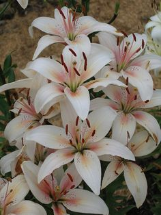 Stargazer Lillies -- the Lily Nook - Neepawa, Manitoba by scrapshot, via Flickr